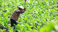 Produksi Hasil Tembakau Terus Turun, GAPPRI Minta Perhatian Pemerintah