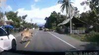 Viral sapi berkeliaran di Jalan Raya, Pidie Aceh (Dash Cam Owners Indonesia)