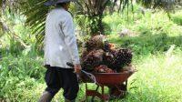 Petani Kelapa Sawit Minta Pemerintah Lanjutkan Moratorium Sawit
