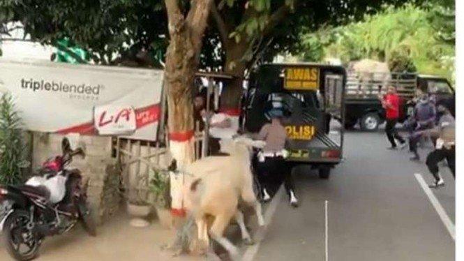 Anggota polisi jail kocar-kacir dikejar sapi